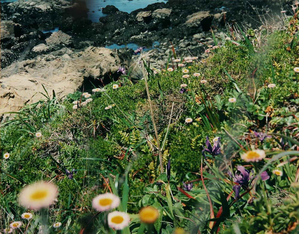 Coastal Groundcover, Pebble Beach