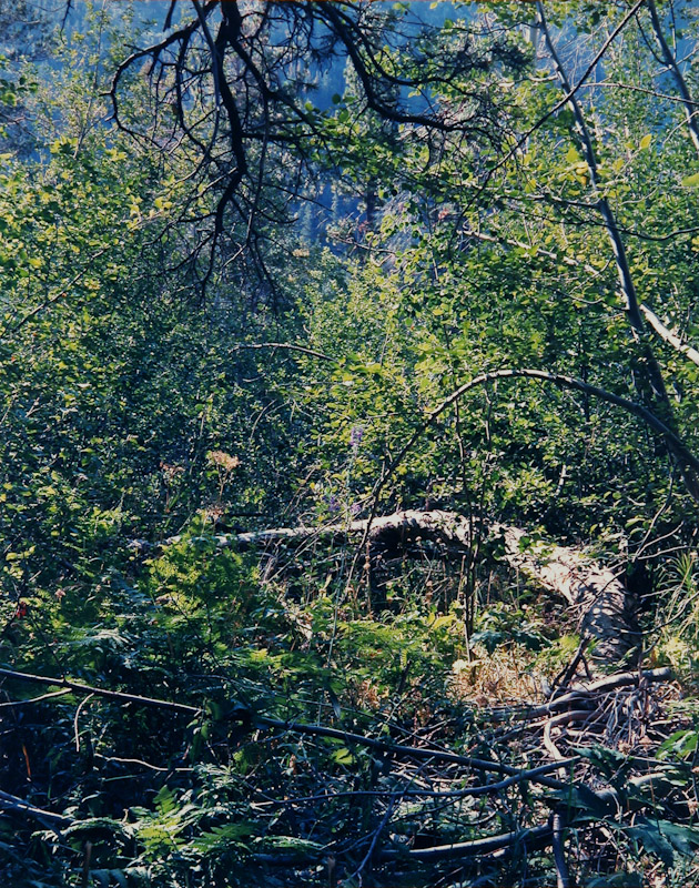 Delphinium in Branches, Desolation Wilderness
