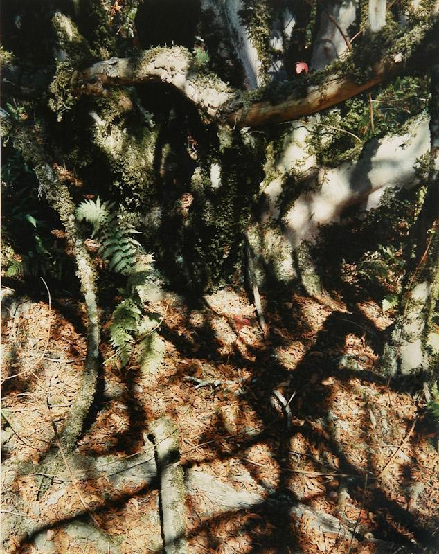 Fern and Tree Trunk, California Coast
