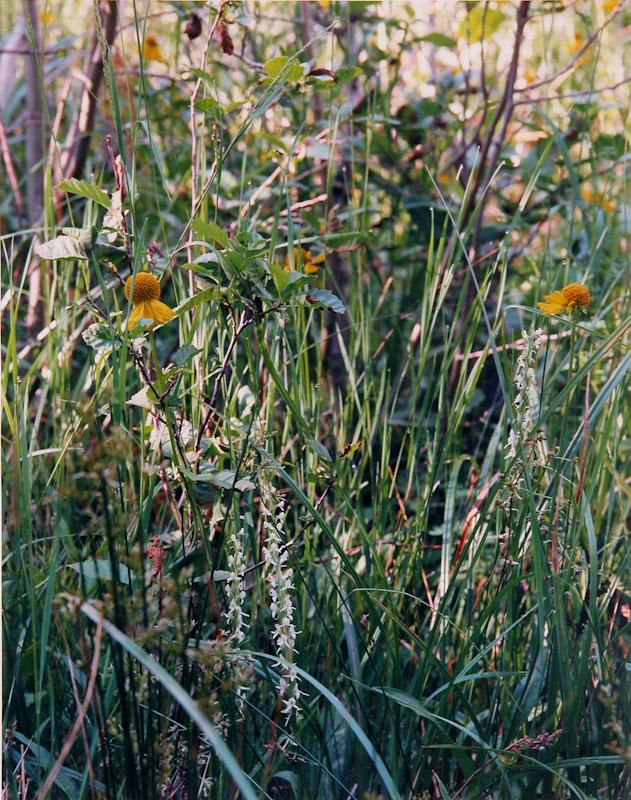 Rein Orchid, Desolation Wilderness