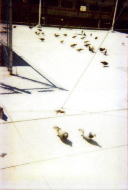 Rock Doves a Shadow SF '02