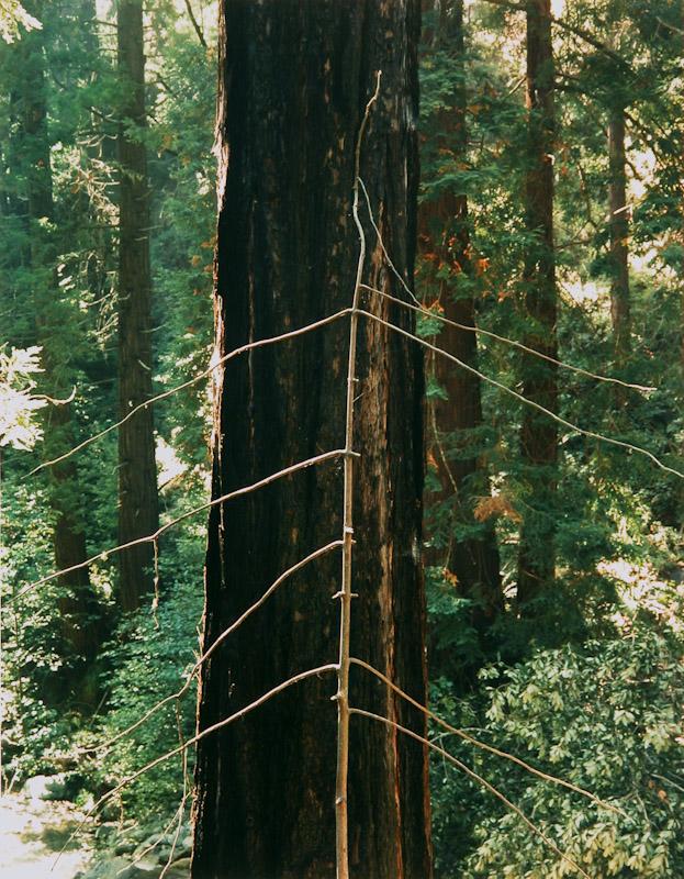 Spindly Tree, Redwood, Big Sur