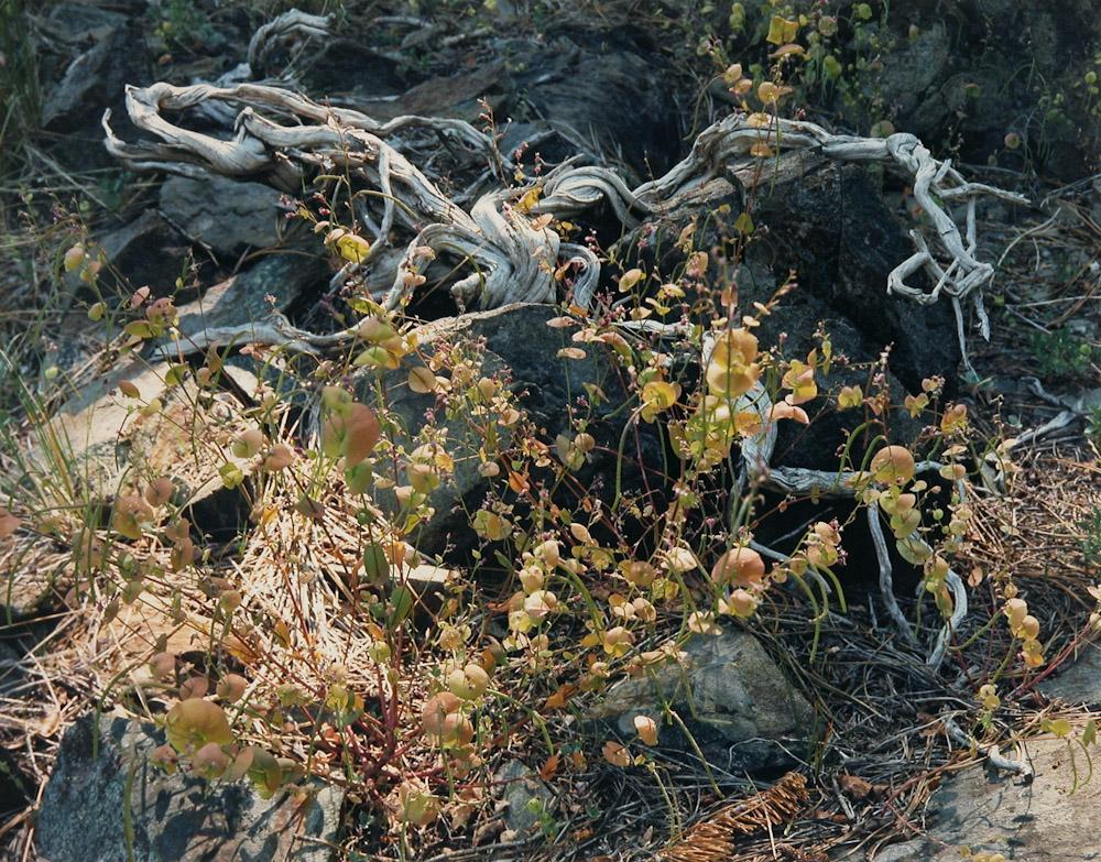 Streptanthus, Desolation Wilderness