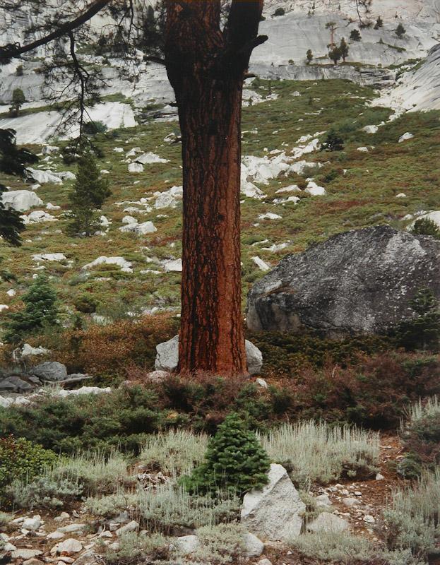 Tree Merced, Yosemite