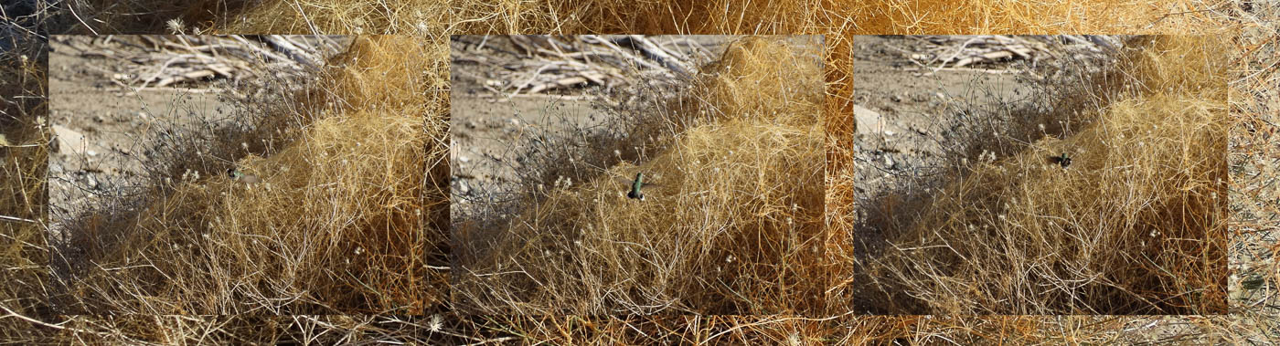 Hummingbird in Grass, 29 Palms, CA, June 2014